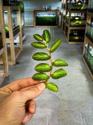 Begonia thelmae - Dart Frog VIVARIUM / Terrarium Plant - Stem Cutting