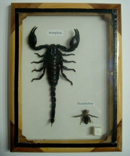 Large Mounted & Framed Scorpion & Bee From Cambodia, Taxidermy