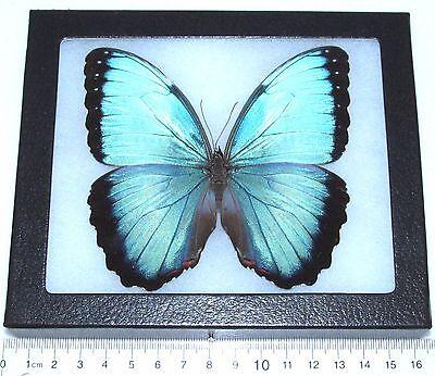 REAL FRAMED BUTTERFLY BLUE MORPHO PELEIDES