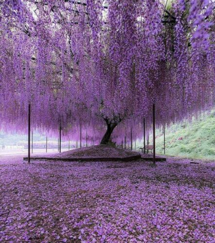 """Purple Wisteria Tree - Live Plant - 6-12"""" Tall Seedling - 3"""" Pot - Ships Potted"""