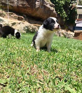Border Collie Puppies Loftus Sutherland Area Preview