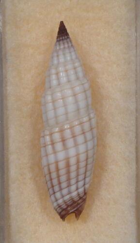 Mitra Vexillum Granosum 29mm Ponape, Caroline Islands