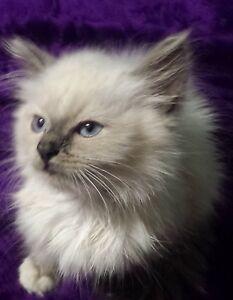 Purebred ragdoll kitten Slacks Creek Logan Area Preview