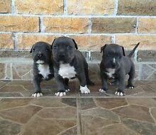 Pure Bred Blue American Staffy Pups For Sale Londonderry Penrith Area Preview