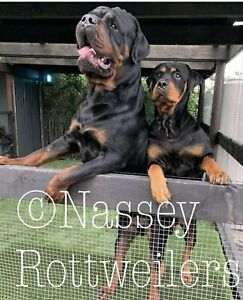 Pedigree Rottweiler Puppies Tailed and Bobtails