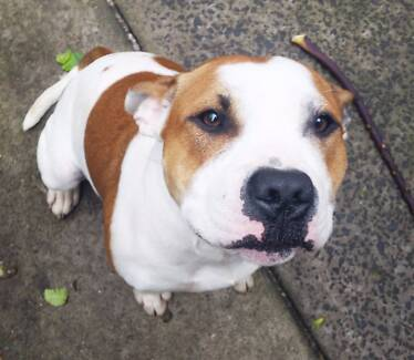 Gorgeous 1 year old Staffy (English Staffordshire Terrier) dog