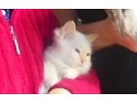 Birman Flame Point blue eyed kittens to leave to forever homes now