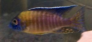 """BLUE NEON"""" FRY 3/4 TO 1"""""""