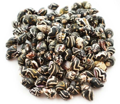 "Set of 100 Tiny Pyrene Ocellata Dove Shells (3/8-5/8"") Beach Crafts Ocean Decor"