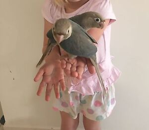 Christmas Special *** Blue Series Conures *** North Tivoli Ipswich City Preview