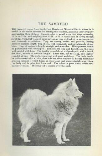 Samoyed - 1931 Vintage Dog Print - Breed Description - MATTED
