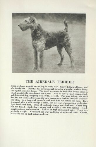 Airedale Terrier - 1931 Vintage Dog Print - Breed Description - MATTED