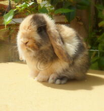 Pure Bred Mini Lop Japanese Harlequin Buck Marleston West Torrens Area Preview