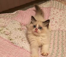 Pedigree Ragdoll kittens Officer Cardinia Area Preview