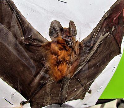 Real Blyth's Horseshoe Bat Rhinolophus lepidus (Orange) Spread FAST FROM USA