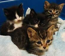 RESCUED kittens - desexed, micrchipped, wormed, flea treated Sydney City Inner Sydney Preview