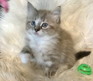 Sweet Purrs Ragdoll Cattery TICA Registered