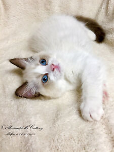 Gorgeous Show Quality TICA Registered Female Ragdoll Kitten