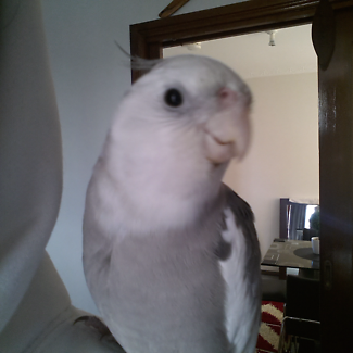 Wanted: LOST PET COCKATIEL