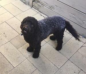 Mini Labradoodle - 13 months old (Male) Research Nillumbik Area Preview