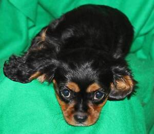 Cavalier King Charles Spaniel puppy Gloucester Gloucester Area Preview