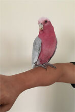 TAMED YOUNG GALAH!!! Belmore Canterbury Area Preview