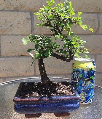 (Chinese Elm Bonsai Tree - Curved Trunk - 8 Years Old- Feng Shui Indoor/Outdoor)