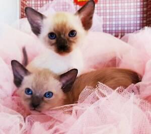 beautiful tonkinese kittens