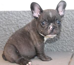 Black french bulldog for sale brisbane