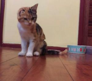 Tortoiseshell kitten to good home St Andrews Campbelltown Area Preview