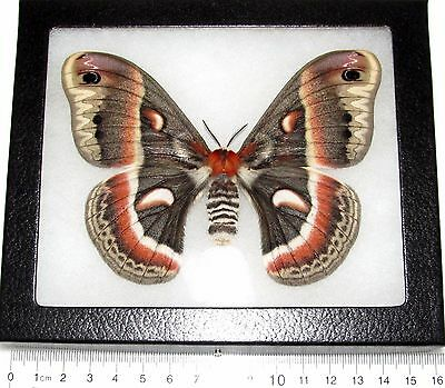 REAL FRAMED HYALOPHORA CECROPIA MOTH SATURNIIDAE FEMALE USA