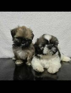 Purebred shih-tzu Brinkin Darwin City Preview