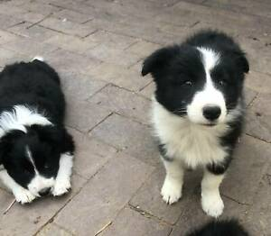 Pure bred border collie pups