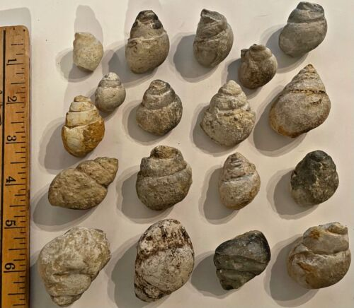 Texas Fossil Gastropods Tylostoma Cretaceous Dinosaur Age 2 PER PURCHASE