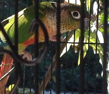 Yellow sided green cheek conure Helensvale Gold Coast North Preview