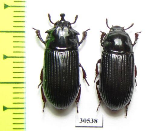 Tenebrionidae sp., pair, Indonesia, Papua