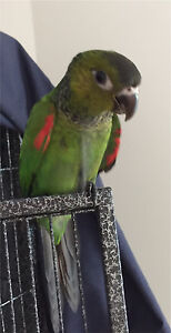 GET SOMETHING DIFFERENT!! Super tame black capped conures Mudgeeraba Gold Coast South Preview