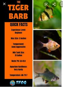 Tiger barbs for sale