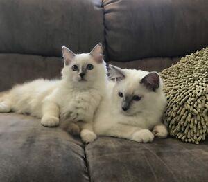 Pedigree Ragdoll Kittens - FULL VET WORK COMPLETED - Must go ASAP