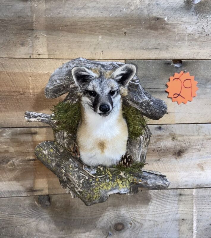 Beautiful Grey Fox Taxidermy Wall Mount In Den
