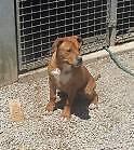 Boxer/Bullmastif/Kelpie X (Tash) is ready for adoption York York Area Preview