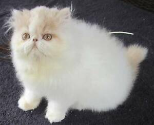 PERSIAN KITTENS - LOOKING FOR THEIR NEW MUMS AND DADS Warner Pine Rivers Area Preview