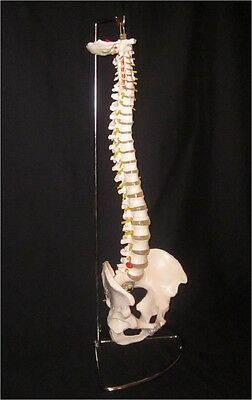 Life Size Flexible Anatomical Human Skeleton Spine Model With Stand   New