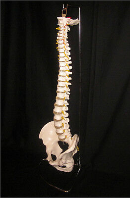 LIFE SIZE VERTEBRAL SPINAL COLUMN ANATOMICAL ANATOMY SPINE MODEL with STAND