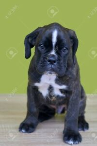 Boxer puppy wanted