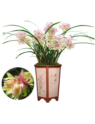 Orchids Live Orchid Plant Flowers for Window, Yard, Garden-Butterfly
