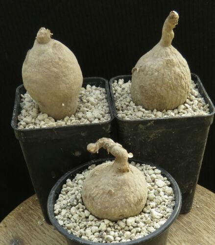 Raphionacme longituba 4cm,Caudex,Euphorbia,Bulb