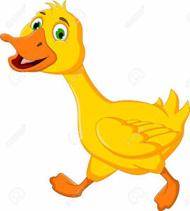 oeufs de canards a vendre 5$ la douzaines ,12$ fécond