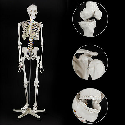 Life Size Human Anatomical Study Anatomy Skeleton Medical Model Stand Kit 165cm