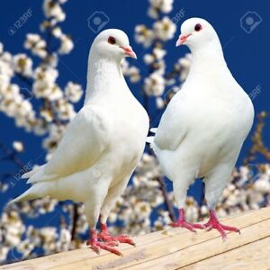 Looking: white homing pigeon pair